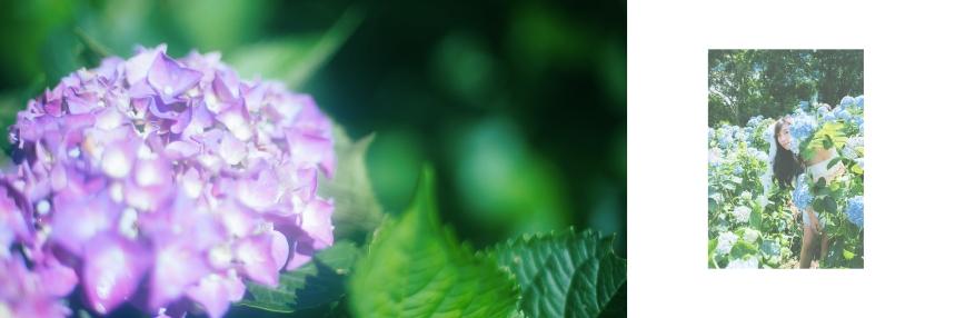 艾琳繡球花_8